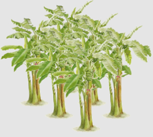 Animation of Banana Trees